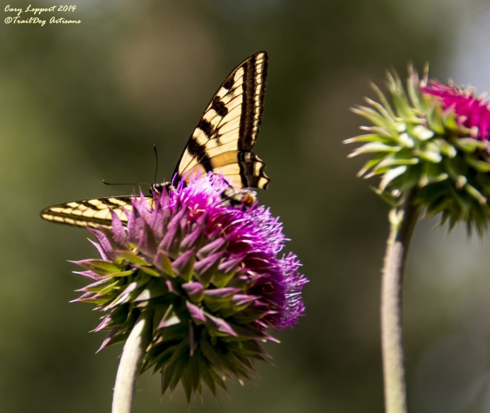 Photo in Nature #butterfly #monarch #thistle #yellow #purple #plant #insect #flower