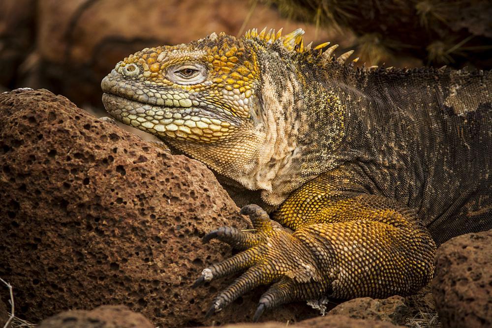Photo in Animal #iguana #galapagos #canon #julian garcia #nature #wildlife