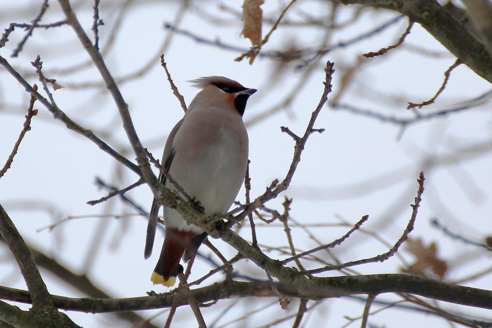 Photo in Random #bird #waxwing