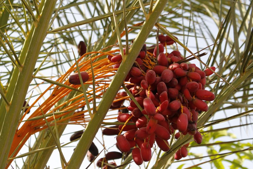 Photo in Nature #egyptian dates #dates