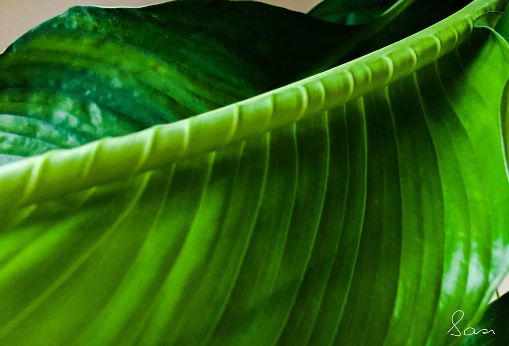 Photo in Nature #leaf #green #houseplant #peacelilly #light #shadows