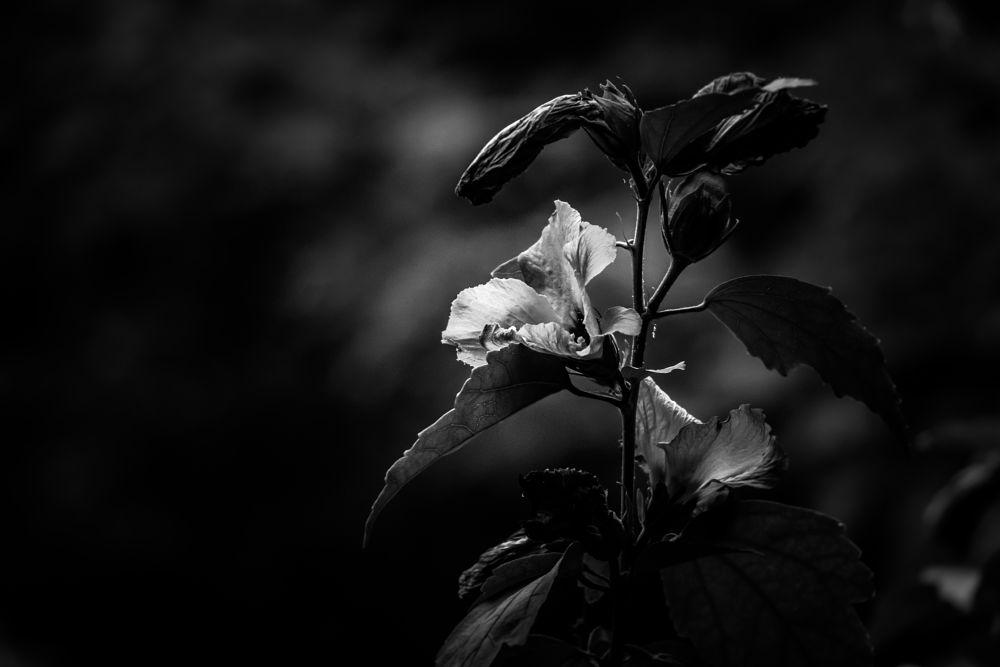 Photo in Nature #flower #nature #close-up #bokeh #macro #bw #blackandwhite