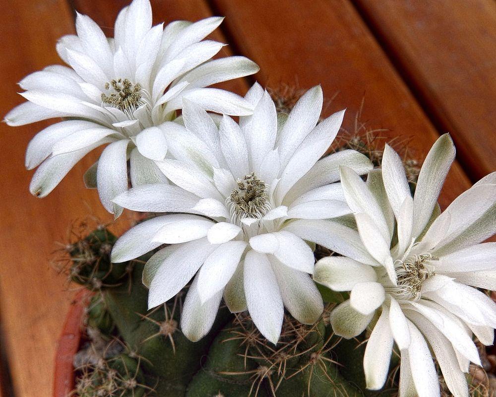 Photo in Random #white #blanco #flores #flowers #cactus