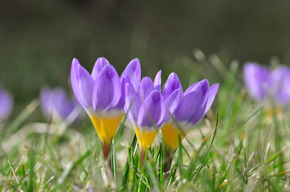 Photo in Nature #spring #nature #crocuses #nikon #nikon_d5000 #nikond5000 #tamron #macro #flower #violet #orange