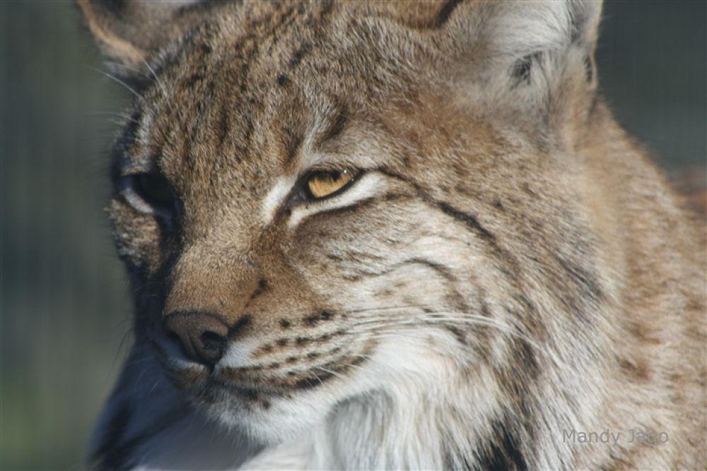 Photo in Random #lynx #newquay #zoo