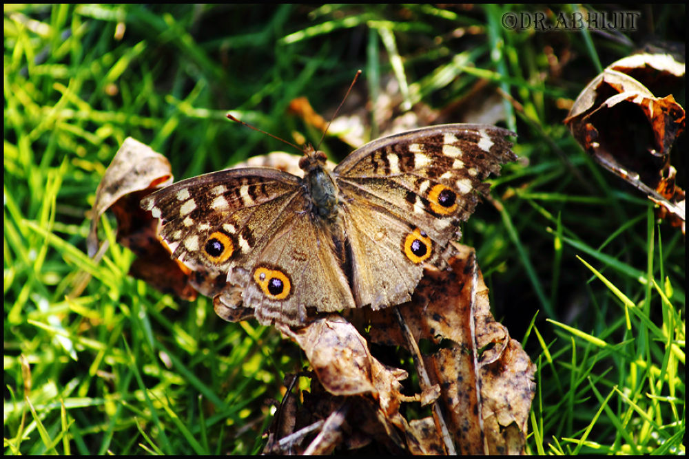 Photo in Nature #nature #macro #closeup #wildlife #butterfly #common four ring butterfly #canoc