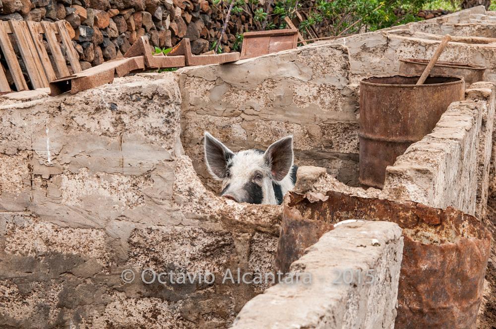 Photo in Rural #hog #pig