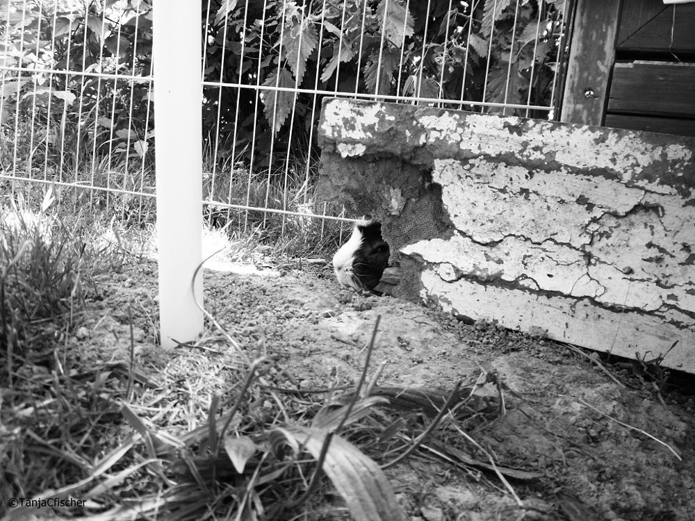 Photo in Animal #cavia #guineapig #animal #cute #piggy