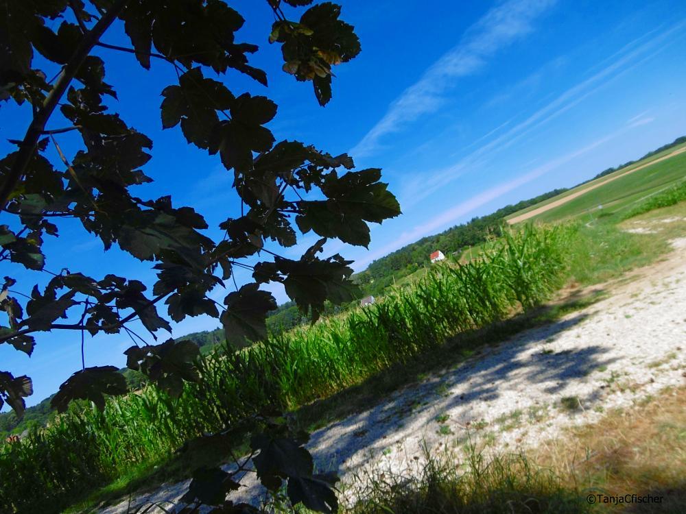 Photo in Nature #green #natur #landscape #bluesky #corn