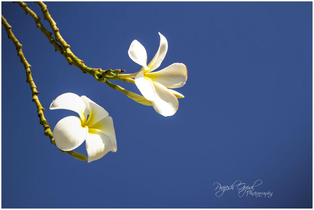 Photo in Random #flowers #dubai #plumeria rubra #weekend photography