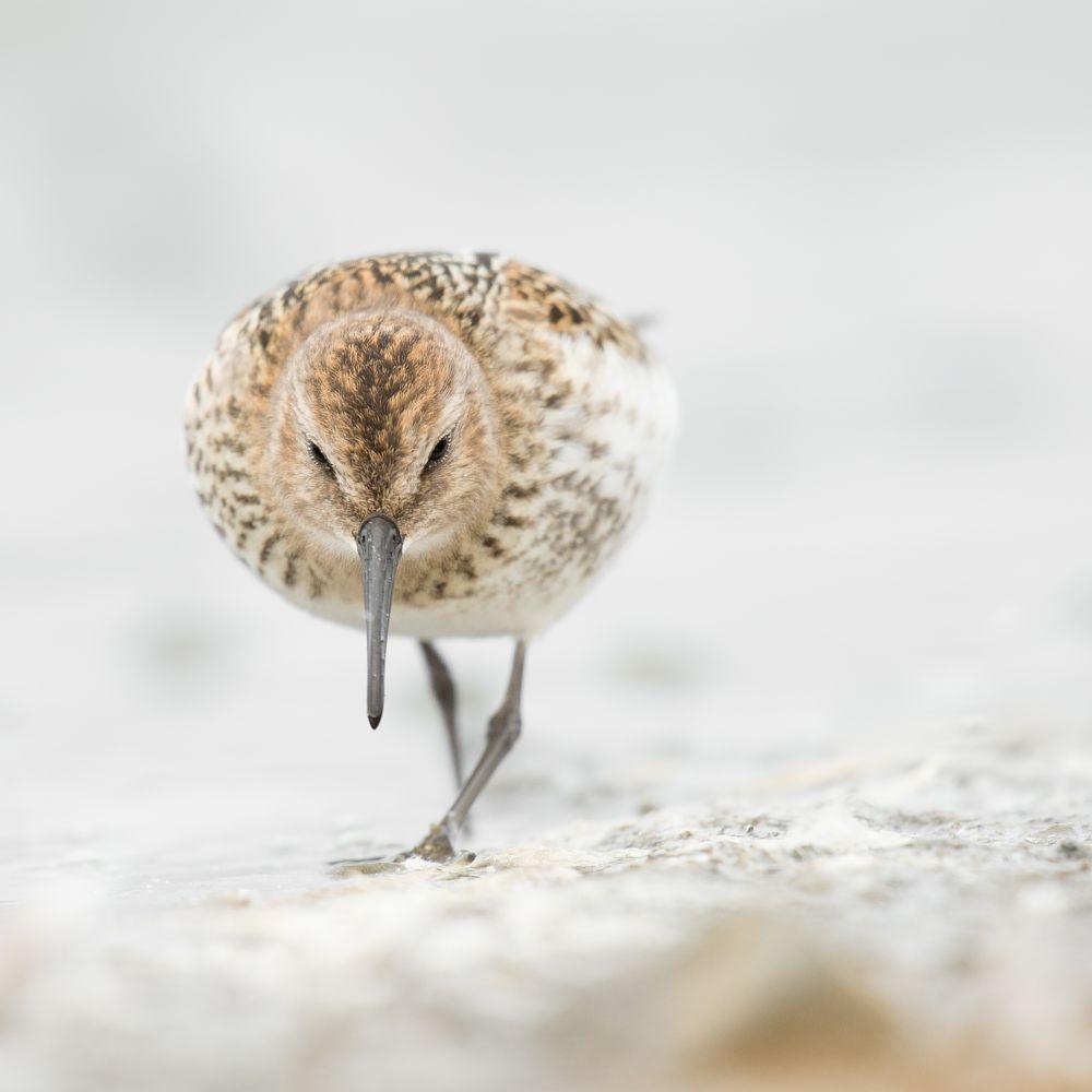 Photo in Nature #bird's #iceland #birdsoficeland #nature #nikon #iceland