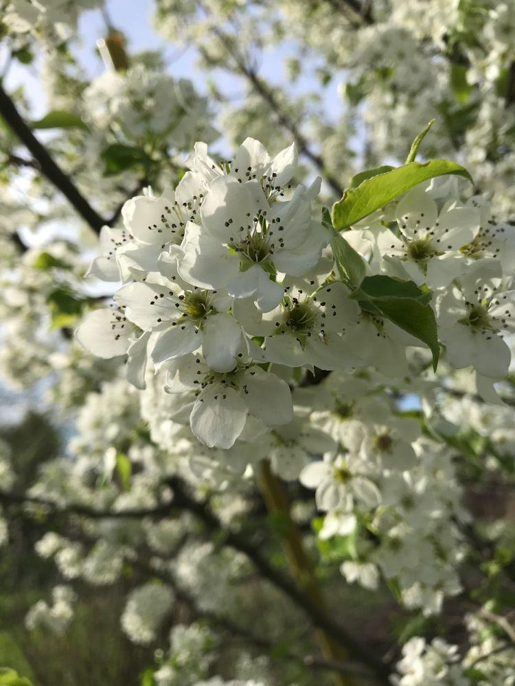 Photo in Nature #white cherry blossom tree #beautiful #flower #nature