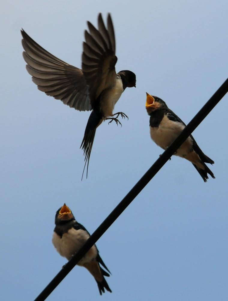Photo in Nature #swallow #feeding #in flight