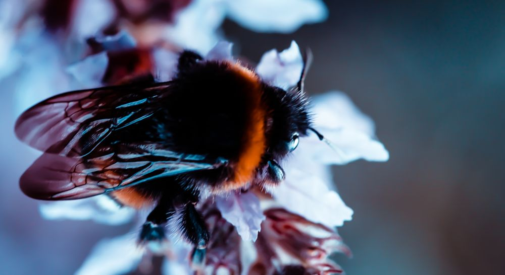 Photo in Macro #bumblebee #flowers #flower #macro #insect #cutie #bokeh #close up #nature