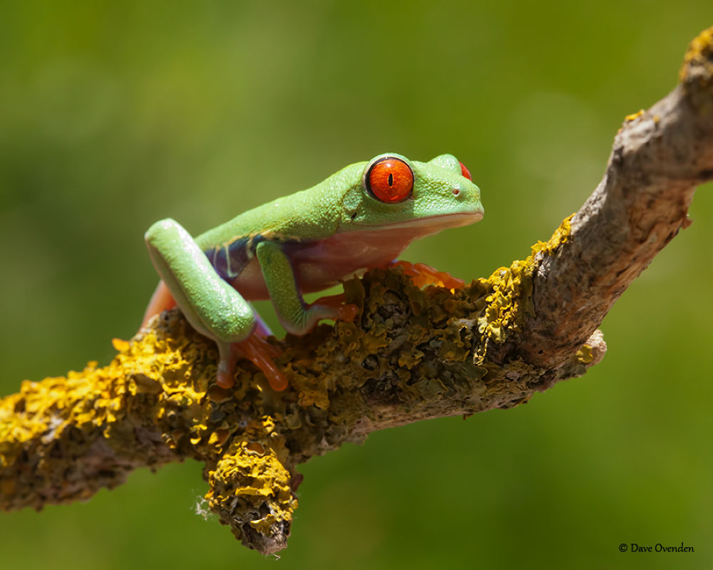 Photo in Macro #frog #tree #red #amphibian #ovenden #eyed