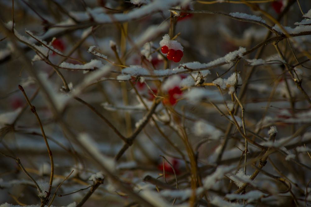 Photo in Nature #canon #focus #rowan #berry #berries #beutiful #bokeh #branch #bird #birds #winter #snow #red #beutiful bokeh #creativity #manual #красиво #рябина #снег #зима #тепло #warm #природа #nature #chaos #хаос #ветка #птица #птицы #грип #focal depth
