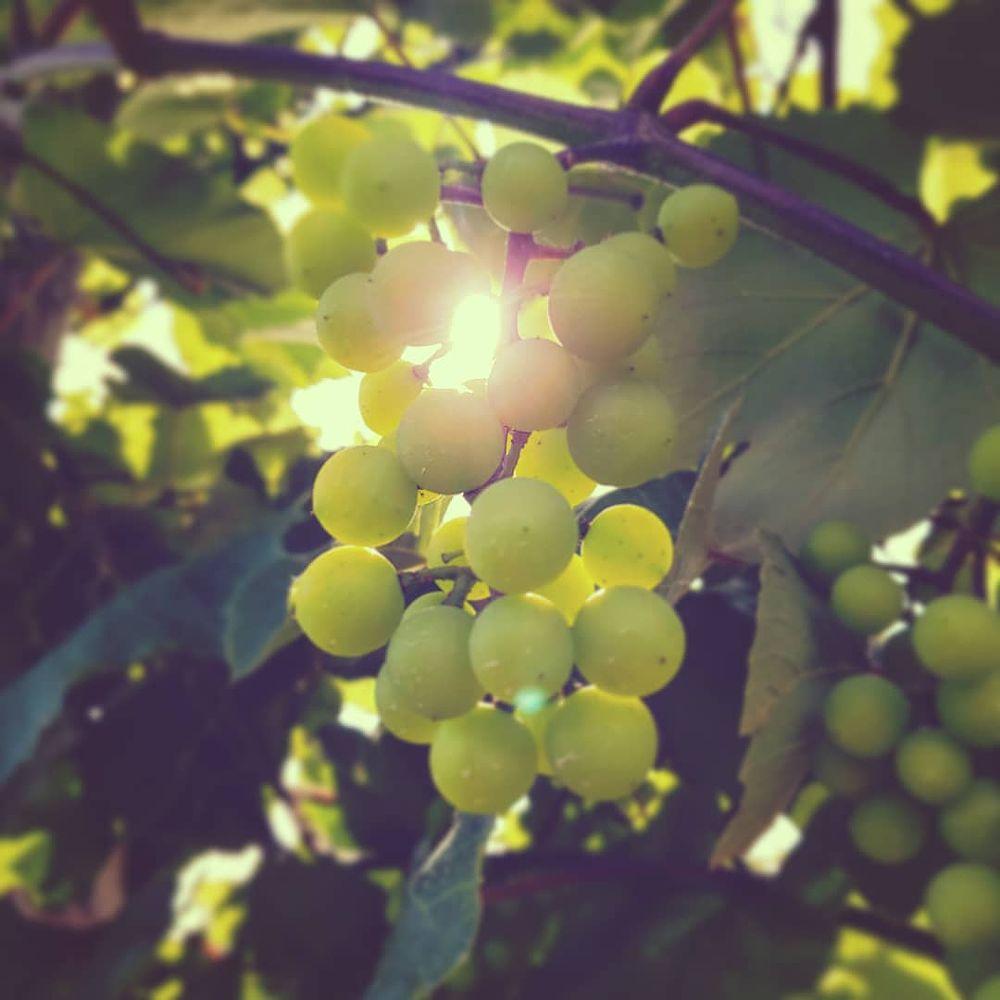 Photo in Random #fruit #grapes #sun #sunlight #light #color #colors #outside #nature