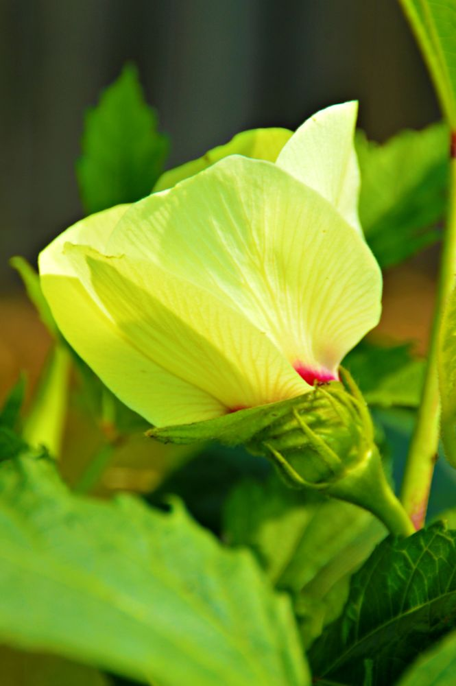 Photo in Random #okra #summer #family #flower #agriculture #nature