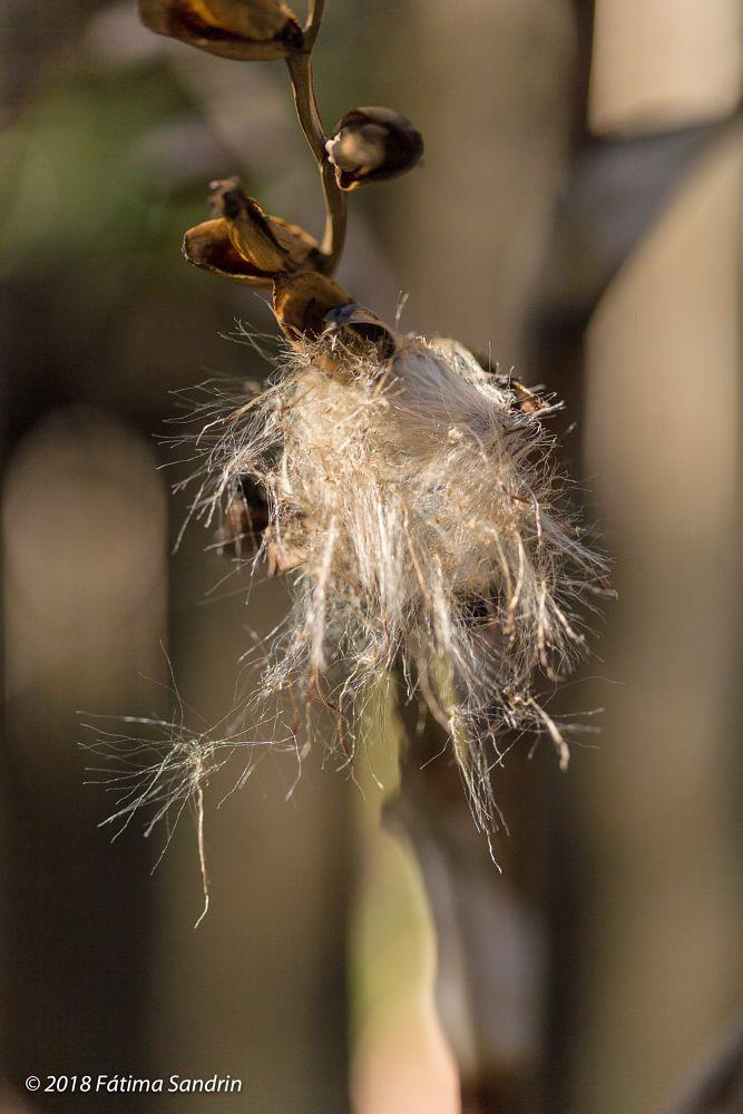 Photo in Random #aerial #seeds #flight #lightness #vriesea gigantea #bromeliad #bromeliaceae
