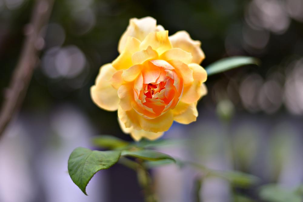 Photo in Nature #yellow #rose