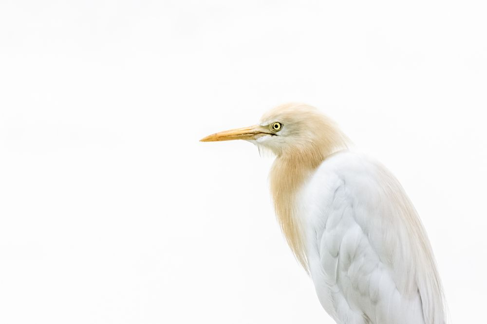 Photo in Animal #nature #wildlife #bird #cattle #egret #highkey #portrait #white