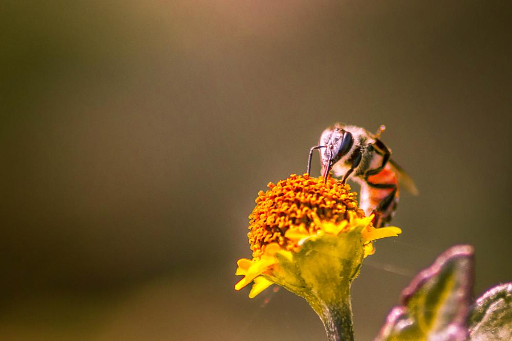 Photo in Macro #bee #bug #honeybee #insect #macro #close up #yellow #nature #flower #photography #600d