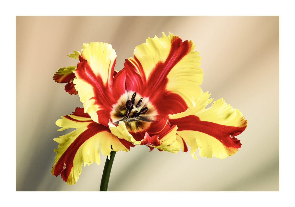 Photo in Random #flower #bloem #tulp #nature #canon #background