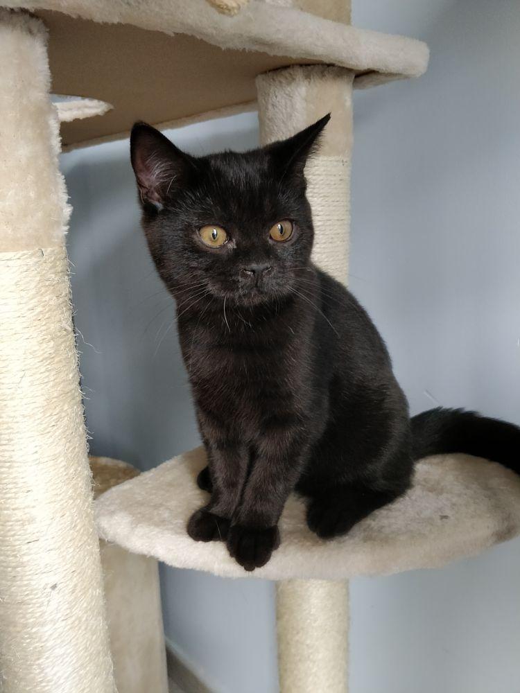 Photo in Animal #black cat #cat #british shorthair #animal