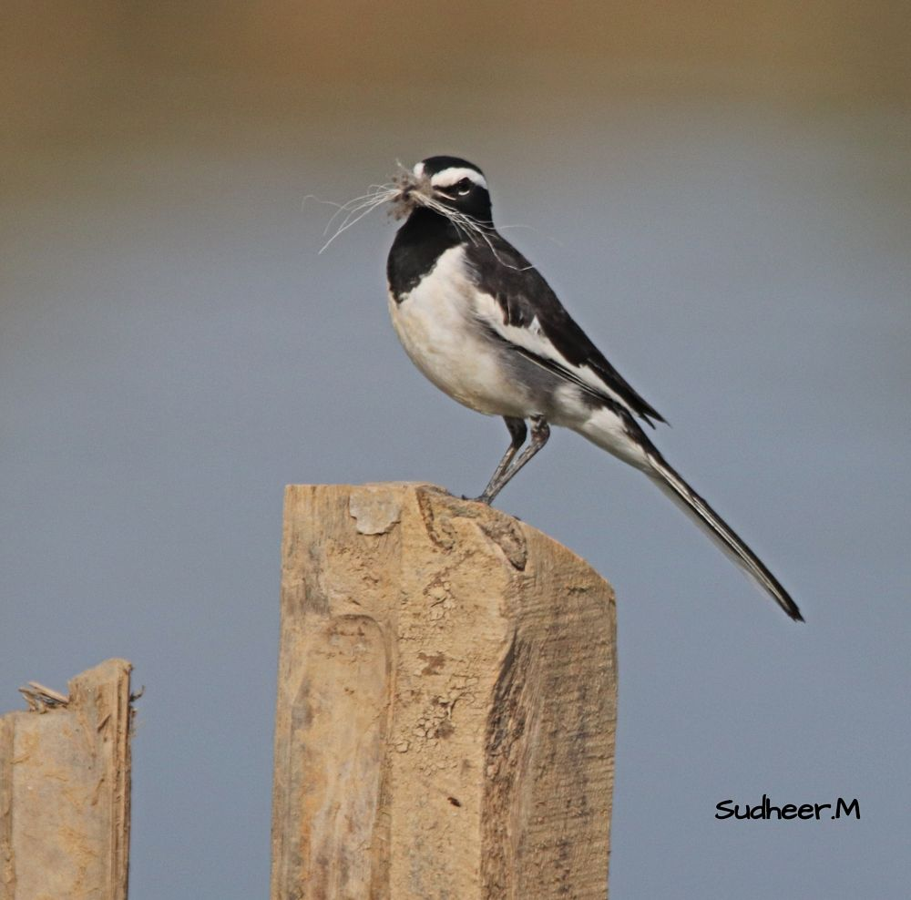 Photo in Animal #wagtail #bird #birds #birding #wildlife #nature #wildlifephotography #sudheermadhurakavi