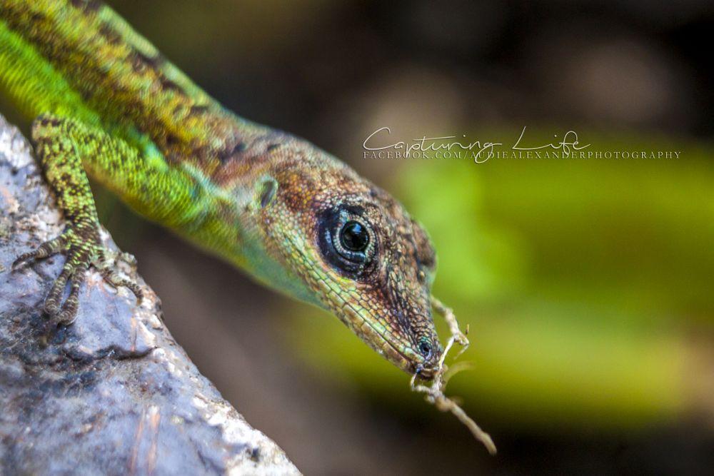 Photo in Random #lizard #reptile #animal #animal photograph #wildlife #wildlife photography #creature #wildlife pics #tropics #tropical #macro #macro photography #nature #nature photography #nature photos