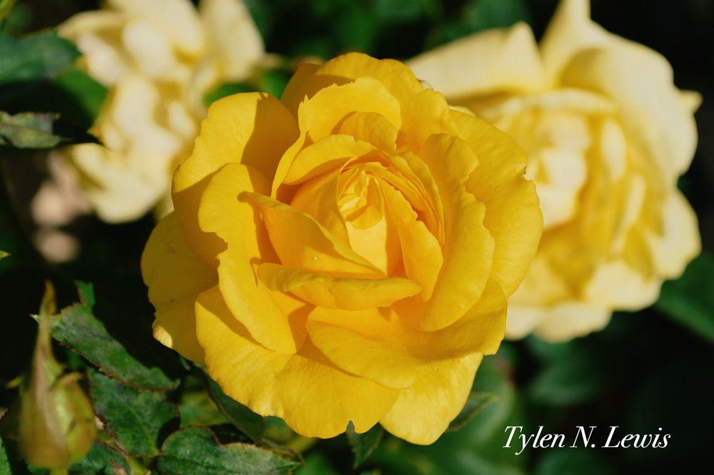 Photo in Nature #rose #nature #flower #yellow #sunset #summer