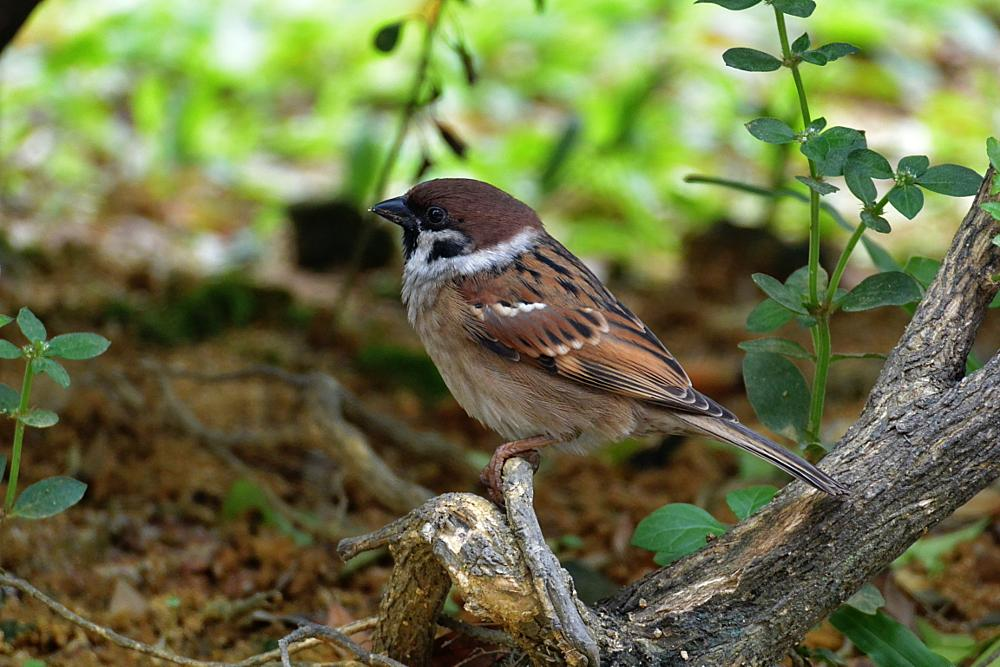 Photo in Nature #sparrow #bird #nature #animal #brown