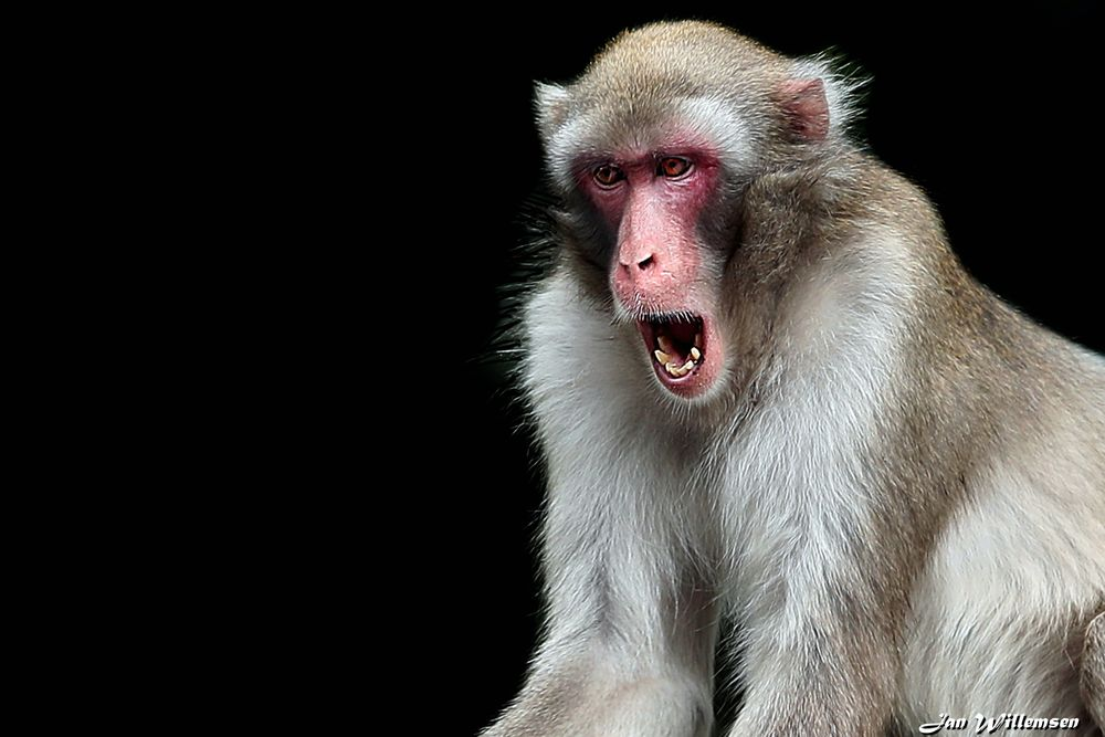 Photo in Animal #japanese macaque #macaque #snow monkey #monkey #ape #japanse makaak #wild animal