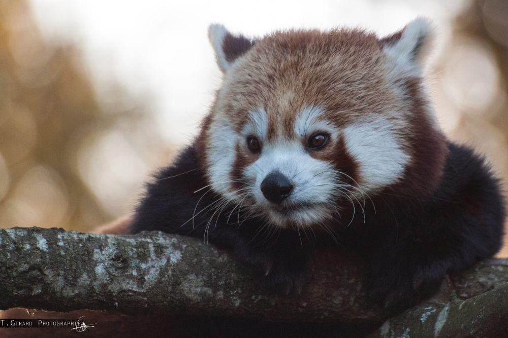 Photo in Animal #panda roux #animal #animaux #nature