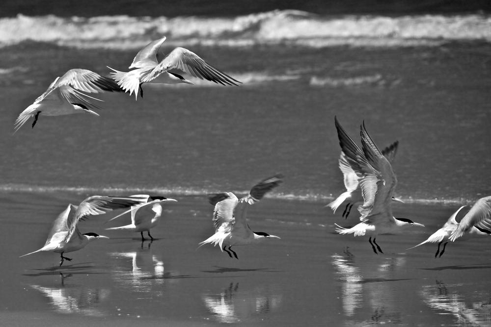 Photo in Animal #beach #b&w #seagulls