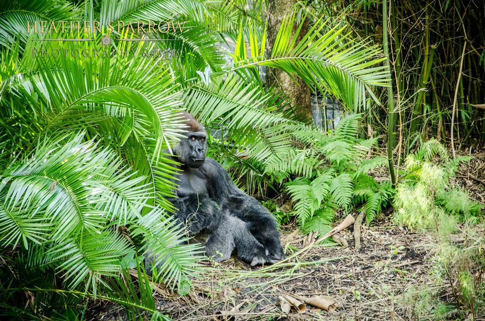 Photo in Animal #gorilla #black #wdw #grass #green #walt disney world