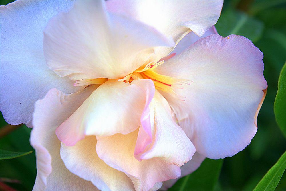 Photo in Macro #adelfa #oleander #flor #flower #spain #alicante #spring