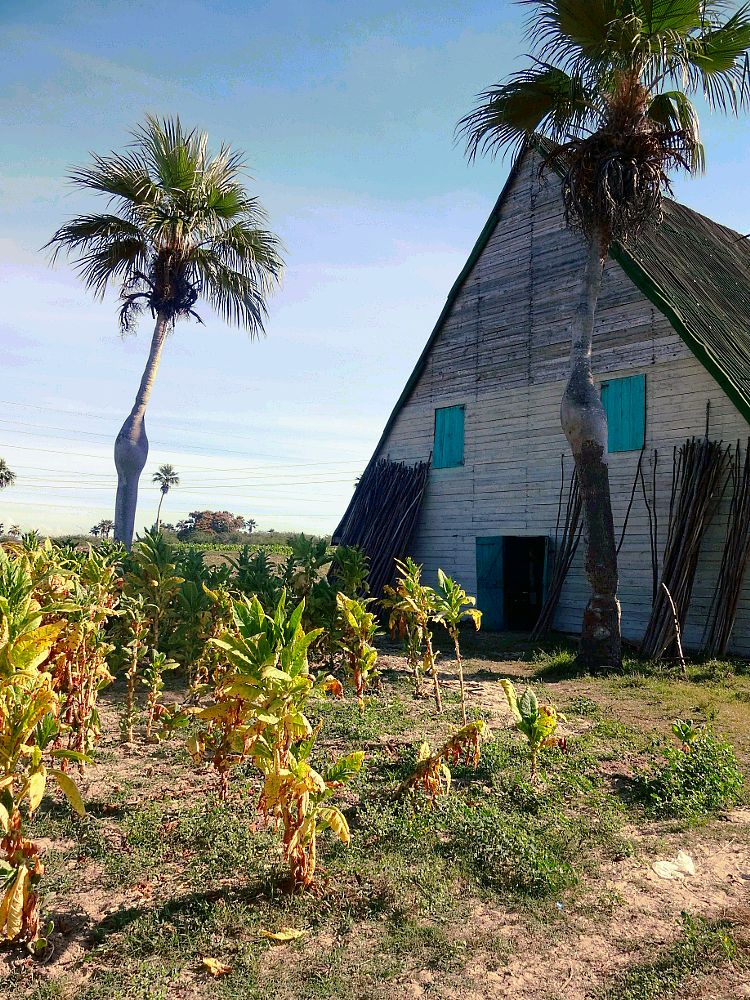 Photo in Travel #cuba #tabak #discover