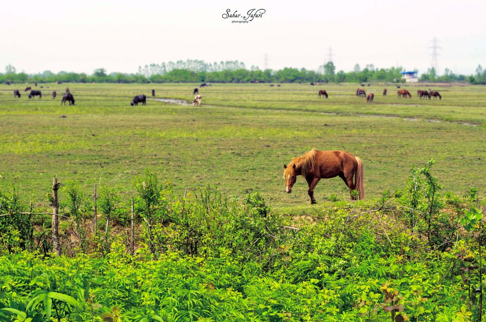 Photo in Nature #pasture #animal #horse #cow #buffalo #nature #landscape #spring #green #iran #gilan