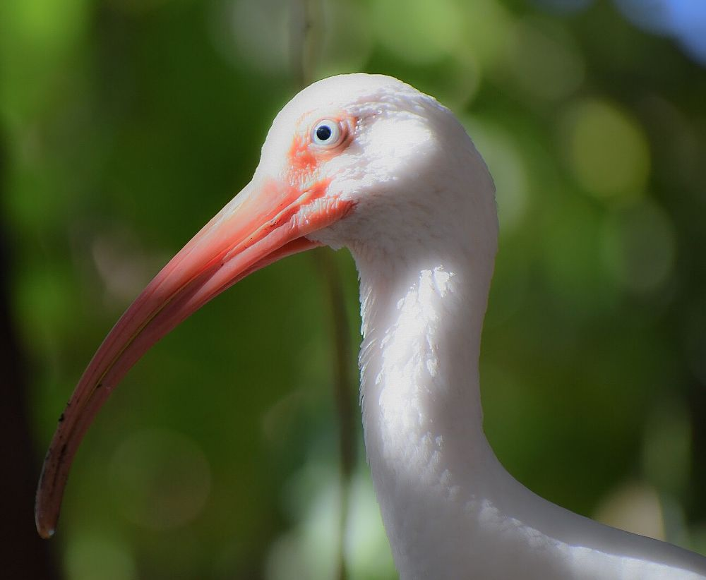 Photo in Nature #ibis #bird #florida #random #nature