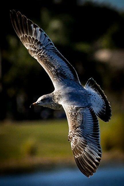Photo in Nature #seagull #bird #nature #flight #allcategories