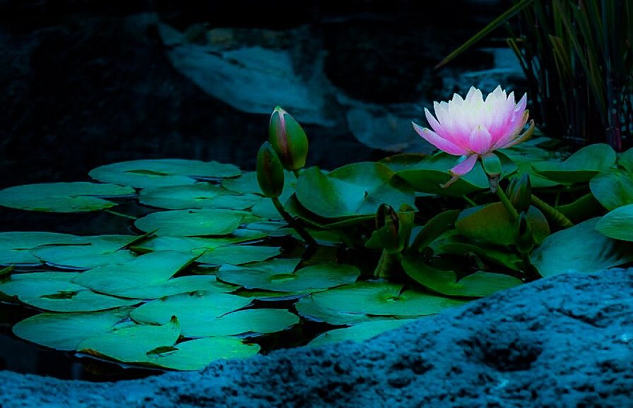 Photo in Nature #lotus #lilypods #nature #zen #inspiration #believe #light #trust #beginnings