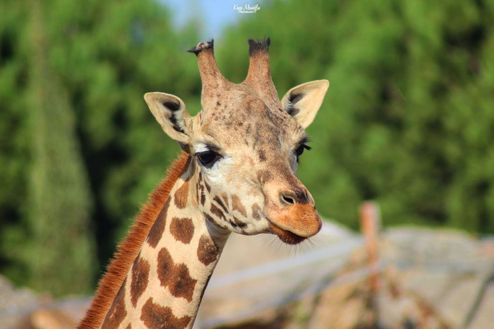 Photo in Animal #kayamanoglu #giraffe #animal #mammal #nature #wildlife