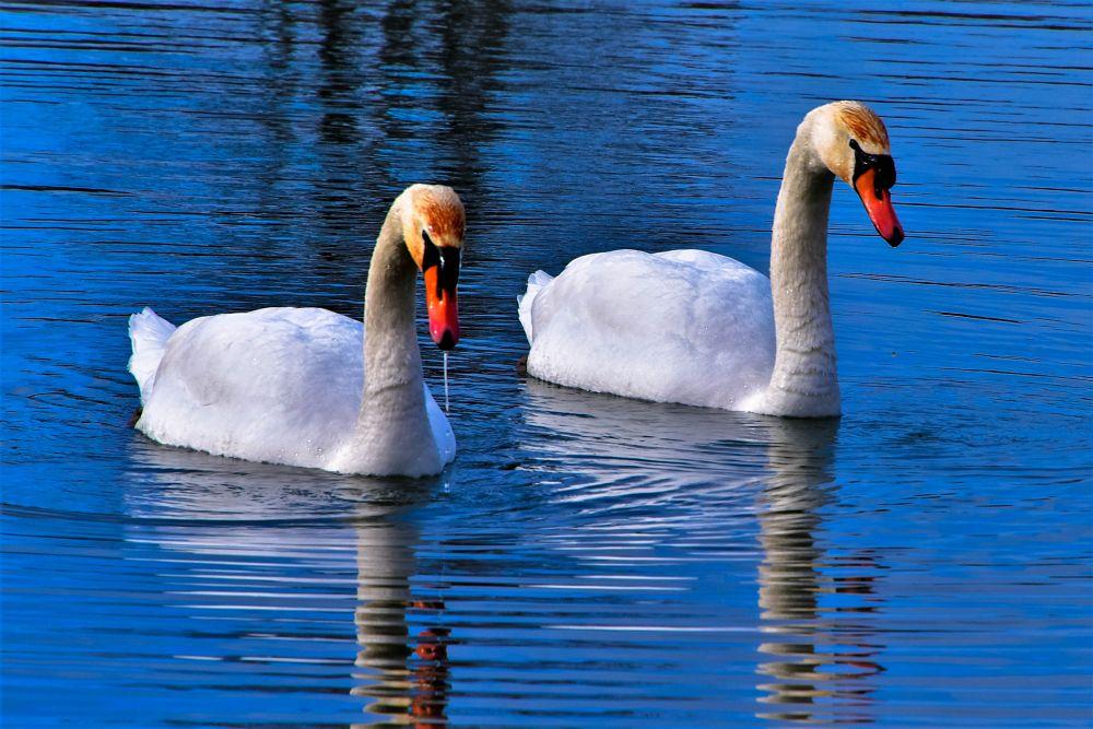 Photo in Random #swans #denyspeel #trending #outdoors #colours #nature #detail #truelove #birds