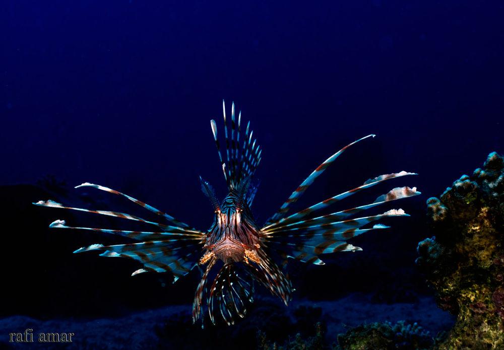 Photo in Underwater #ypa2013 #lionfish #underwater
