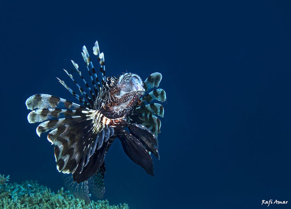 Photo in Underwater #yap2013 #lion fish #underwater #sea #animal