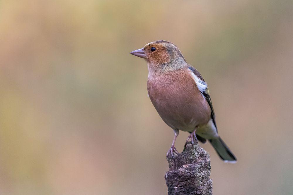 Photo in Animal #chaffinch #vink