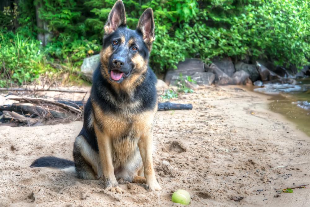 Photo in Animal #dog #pets #beautifull #german shepherd #dog german shepherd