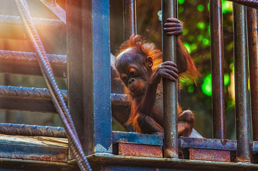 Photo in Animal #orangutan #ape #animal #animalbaby