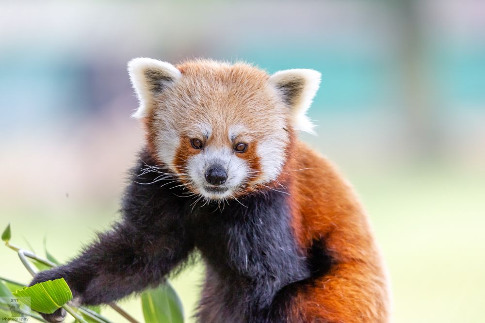 Photo in Animal #red panda #zoo #animalphotographer #animal #wild #wildanimal #wildlife #wildlifephoto #wildlifephotographer #canon #canon5d #canoncamera #natualworld #natural #nature #photography